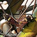 Unknown bee/fly - Mallophora fautrix - male - female