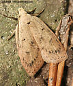 Moth - ID me - Machimia tentoriferella
