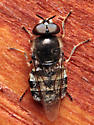Fly - Odontomyia