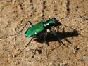 Six-Spotted Tiger Beetle - Cicindela sexguttata