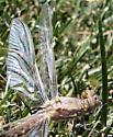 Dragonfly (Newly Emerged) - Plathemis lydia - female