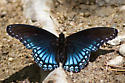 Arizona Red-spotted Purple - Limenitis arthemis