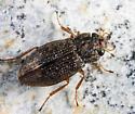 Water Scavenger Beetle - Helophorus nitiduloides