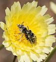 Calliopsis puellae - male - female