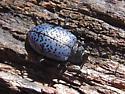 Gibbifer californicus