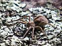 running crag spider ? - Thanatus