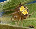 Araneus sp. - Araneus pegnia - female