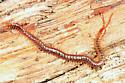 soil centipede - Geophilus vittatus