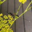 Wasp ID please - Gasteruption - female