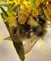 Bombus species on Goldenrod, Wild Basin - Bombus mixtus