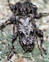 Long-Horned Beetle  - Aegomorphus modestus