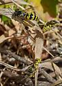 Steniolia sp.? - male - female