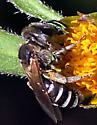 Smallish Bee - Halictus ligatus