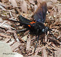 Mydas Fly - Mydas clavatus - Mydas clavatus
