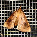 unidentified moth - Fumibotys fumalis