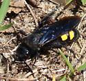 Campsomeris quadrimaculata - Pygodasis quadrimaculata