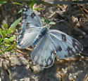Checkered White A - Pontia protodice - female