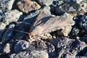 Gray Moth - South Texas  - Bulia