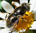 Large dark metallic brown fly with golf ball eyes - Eristalinus aeneus - male