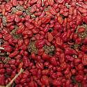 Red bugs found underground