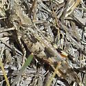 band-wing - Conozoa sulcifrons - male