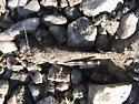 Trimerotropis fratercula - female