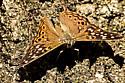 Butterfly? - Asterocampa celtis - male