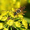 Flower Longhorn - Analeptura lineola