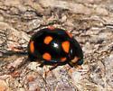 Orange-spotted Lady Beetle in Kouchibouguac National Park - Brachiacantha ursina