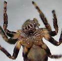 Sun visor Salticidae's - Evarcha proszynskii - male