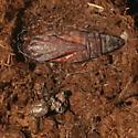 Noctuidae, Three-staffed Underwing - Catocala amestris
