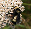 Which bombus, please-us? - Bombus auricomus