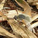 Beefly - Systoechus