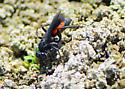 AAA Wasp for California in August  (Anopilius americanus ambiguus) - Anoplius americanus - female