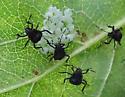 stink bug nymphs? - Halyomorpha halys