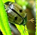 Shining Leaf Chafer Beetle - Anomala binotata