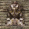Mottled Moth - Lacinipolia olivacea