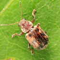 Ten-spotted Leaf Beetle - Xanthonia decemnotata - female
