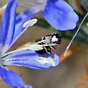 Hylaeus? - Ceratina arizonensis