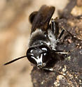 Bee, I mean wasp, #4 - Trypoxylon