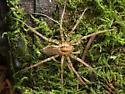 Agelenopsis sp. - Agelenopsis oregonensis - male