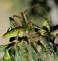 Green Lynx Spider  - Peucetia viridans - female