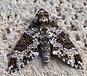 Moth in Ormond Beach - Manduca rustica