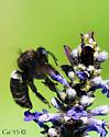 Xylocopa californica diamesa ? - Xylocopa californica - male