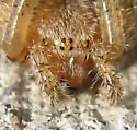 Giant Lichen Orbweaver? - Araneus cavaticus - female