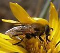 Plain Brown Syrphid - Lejops curvipes - female