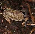 speckled isopod - Porcellio scaber