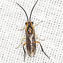 Locust Sawfly - Nematus tibialis