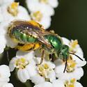 Metallic Green Bee - Agapostemon texanus
