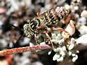Doeringiella - Triepeolus - female